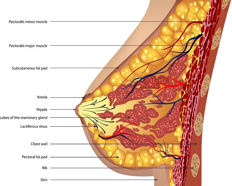 Anatomie de la poitrine Vecteur illustration