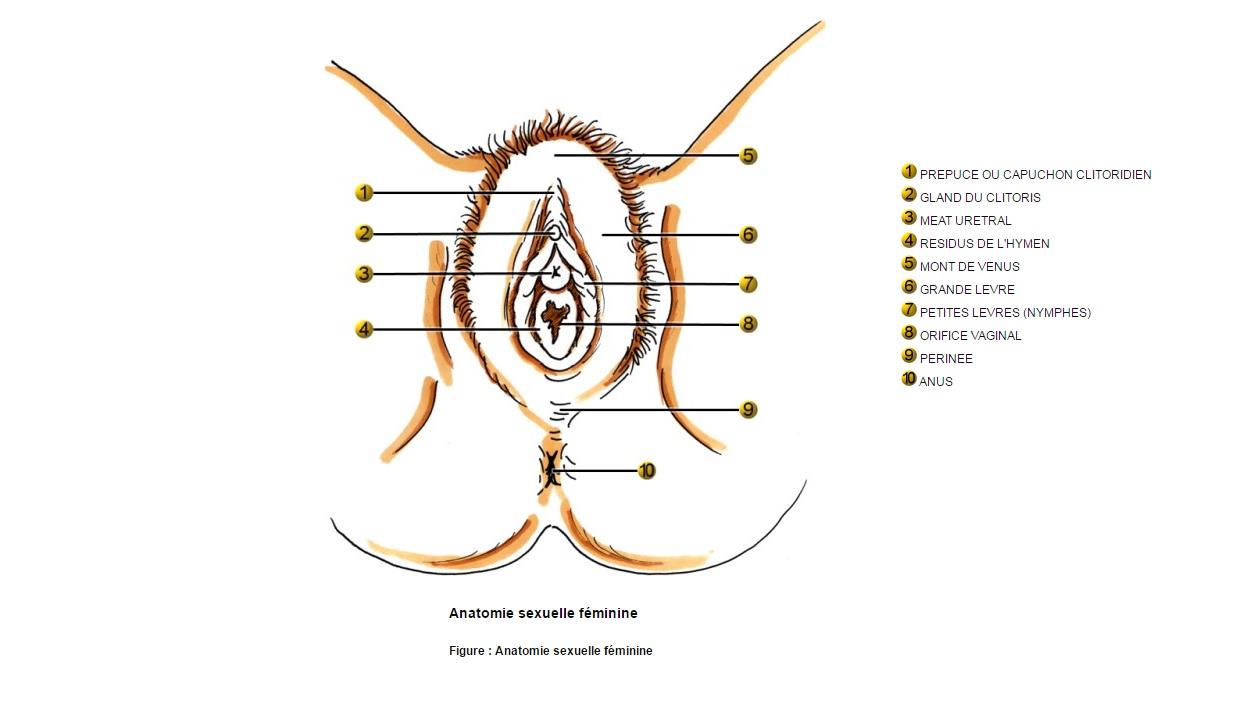 Anatomie sexuelle féminine